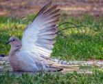 gołąb hodowalny